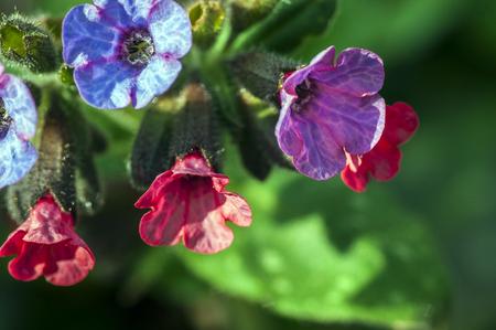 neuralgia: Herba Betonicae