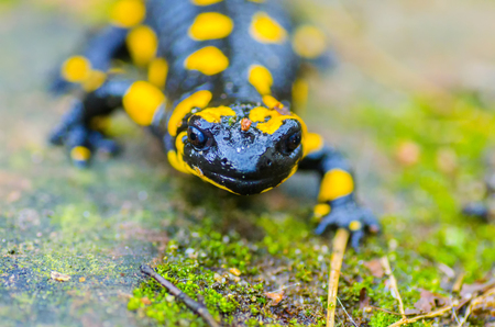 The Prince of Salamanders