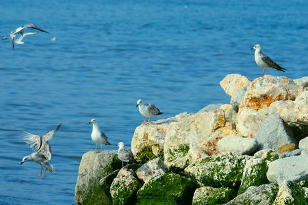 The seagull on sea coast ( lisboa portugal )