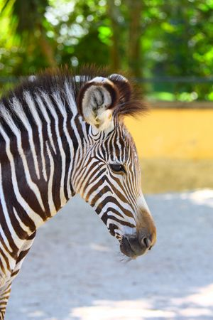 portrait of zebra Stock Photo - 5690629