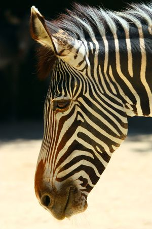 portrait of zebra Stock Photo - 5690637