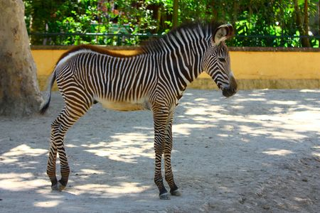 Adorable baby Zebra standing Stock Photo - 5690573