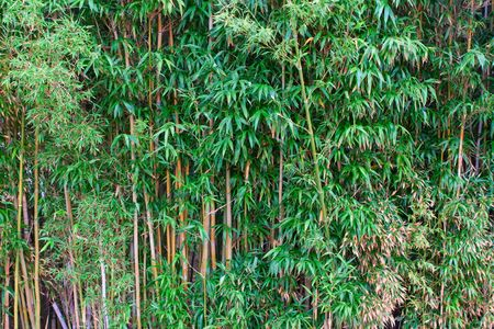 Bamboo forest in a park  Stock Photo