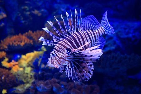 lion-fish underwater in tropical aquarium