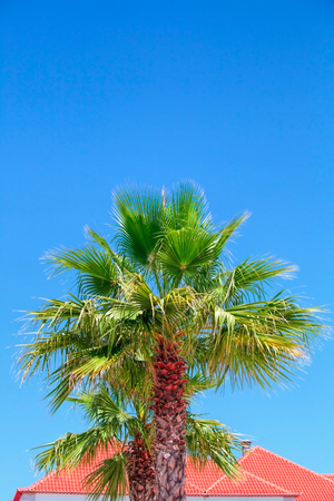 palm tree close-up against the blue cloudless sky