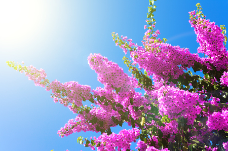 Pink flowering tree on a background of blue sky Stock Photo