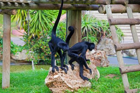 black headed spider monkey . Ateles fusciceps .