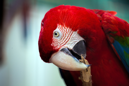 Beautiful parrot bird .  Greenwinged Macaw in portrait profile .