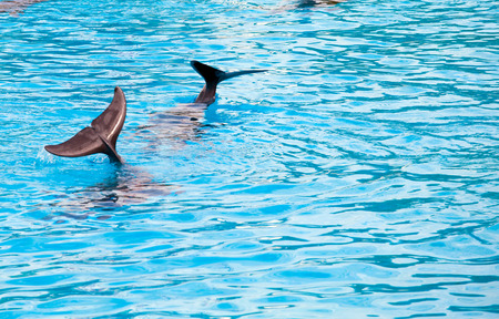 two dolphins frolic in the blue clear water