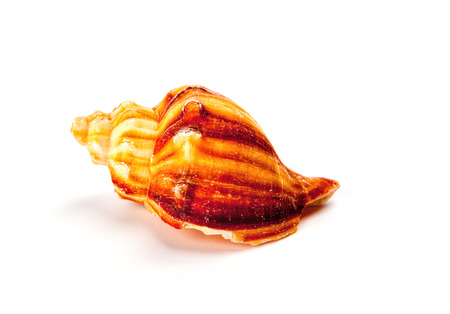 Colorful sea shell isolated on a white background