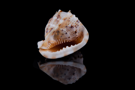 Sea shell conch isolated on black background . Stock Photo
