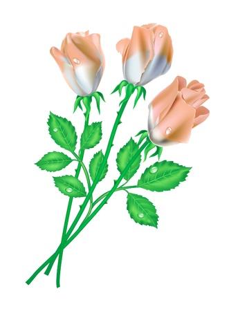 흰색 배경에 3 개의 장미 벡터 (일러스트)