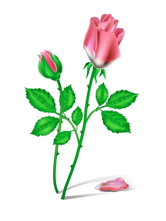 Two red roses on the white background