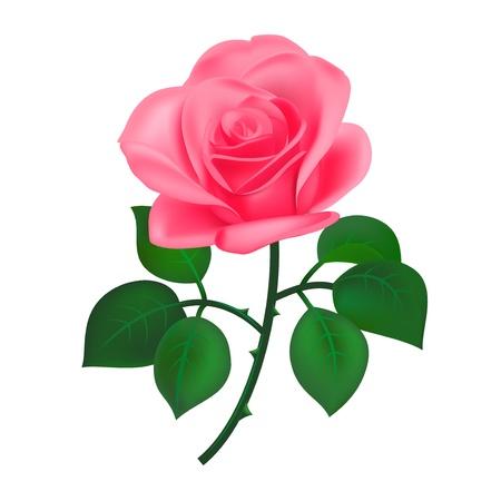love rose: Rosa rosa, aislados en blanco Vectores