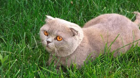Funny persian gray cat with orange eyes on the green grass