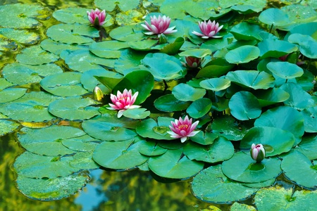 Beautiful water lilies on a pond photo