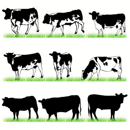 vaca: Conjunto de vacas y toros