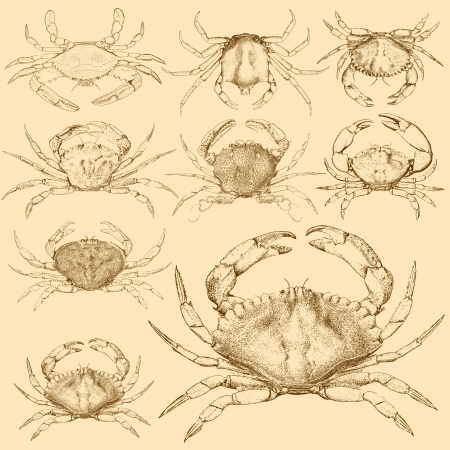 Set of 9 vintage engraved crabs Stock Vector - 16924378