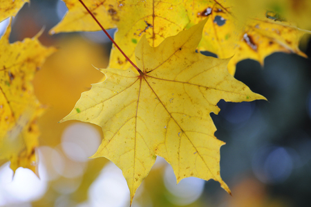 branching: Yellow backlit fall maple leaves glowing Stock Photo