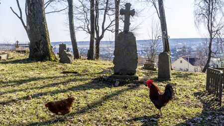 Mystic rooster in the middle of tombstones in the old cemetery.