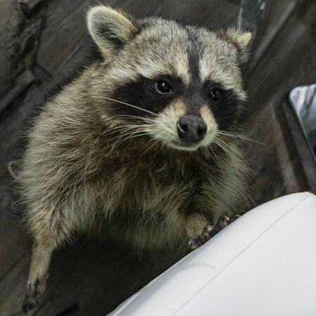Portrait of a charming raccoon. Wildlife care concepts. Standard-Bild