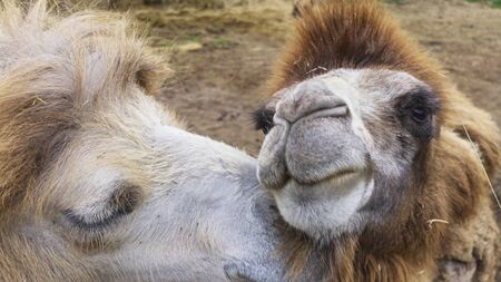 Just a beautiful photo of 2 funny lovers camels having a good time whilst showing off their companionship. Valentines days concept. Stock Photo