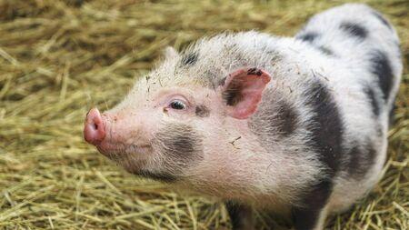 Piebald Minischwein der vietnamesischen Rasse auf Heuhintergrund. Tier- und Landwirtschaftskonzepte.