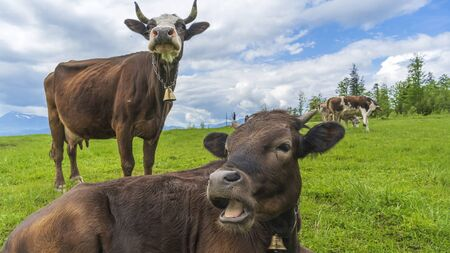 Two brown cows grazing on meadow in mountains. Cattle on a pasture. Agriculture concept.
