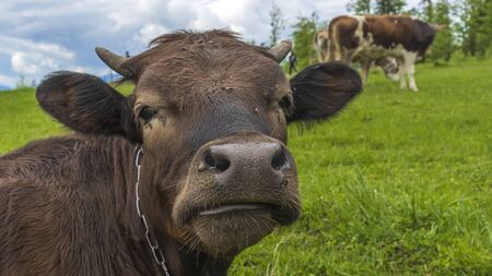 Close-up brown cow head in front of mountain meadow landscape. Agriculture concept.