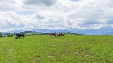 Idyllic landscape in the mountains with cows grazing in fresh green meadows, typical farmhouses and snowcapped mountain tops. Agriculture concept.