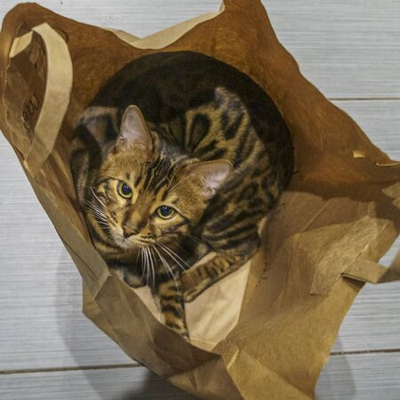 Bengal cat with big green eyes sitting in a paper bag and looking at us. Animal concept. Foto de archivo