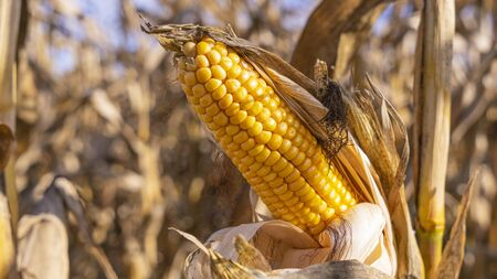 Close-up yellow ear of corn on the background of dried stems. Agriculture concept. 스톡 콘텐츠