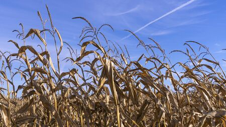 Dried stalks of fodder corn on the classic blue sky background. Agriculture concept.