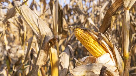 Yellow ear of corn on the background of dried stems. Agriculture concept. 스톡 콘텐츠