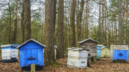 Apiary with wooden old beehives in autumn forest. Preparing bees for wintering. Autumn flight of bees before frosts. Warm weather in the apiary in the fall.