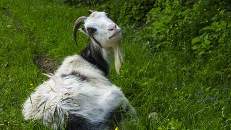 The funny white goat lies on the lawn and looks at us. Animal concept.