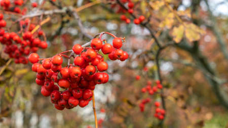 Rowan berries on a branch. Autumn harvest. Ripe red rowan berries close-up growing in clusters on the branches of a rowan tree.