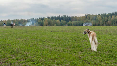 Russian greyhounds in nature. Russian borzoi dog stands against the background of autumn nature. Animal concept. Foto de archivo