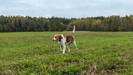 Beagle dog outdoor active playing on the lawn grass. Hunting dog of breed of beagle on a natural autumn background. Animal concept. Foto de archivo