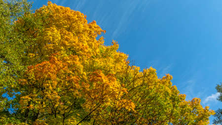 Yellow fallen leaves. Tree against cloudy blue sky. Yellow Maple Tree Leaves Composition Over Sky. Beautiful autumn tree and blue sky. Autumn Nature concept. Foto de archivo