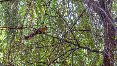 Cute young red squirrel in a natural park. Very cute animal, interesting about its surroundings, looking funny. Red squirrel in the natural environment. Jumping and climbing trees, running, eating.