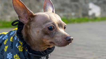 Russian toy terrier in a city park in the autumn. Russian toy terrier in clothes standing in the park. Animal concept. Foto de archivo