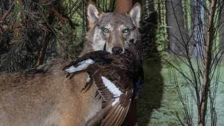 A stuffed wolf. Wolf head. Museum exhibit stuffed wild predators. Hunting trophy.