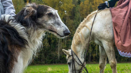 Beautiful russian borzoi or greyhound dogs with horse. Close-up view of dogs and hotse heads. Animal concept. Historical reconstruction of the traditional hunting with russian borzoi dogs. Foto de archivo