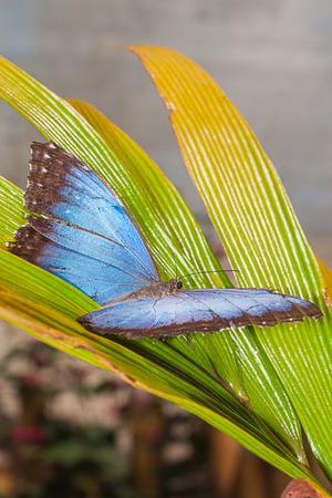 morpho menelaus: Fr�gil mariposa Morpho Menelao, selva amaz�nica, Am�rica del Sur