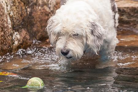 Beautiful terrier dog having fun with his ball photo