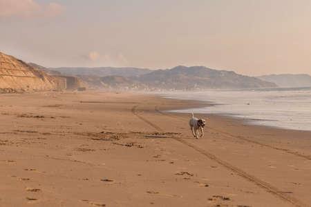 Jack Russel terrier running  Pacific ocean beach photo