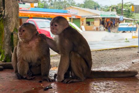 sciureus: Pair Of Friendly Small Monkeys, Ecuador, South America