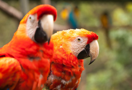 amazonian: Close Up Of Scarlet Macaw Parrot Pair In The Amazonian Rainforest, South America
