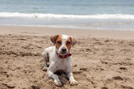 civilized: Jack Russell Terrier Stand On Hot Sand At The Pacific Ocean Stock Photo